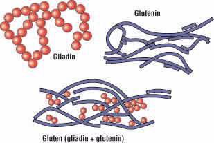 gliadin_glutenin_gluten